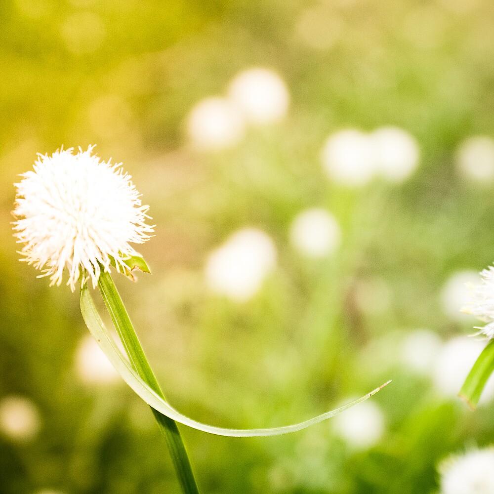 Dandelion Dreams by EmmJW