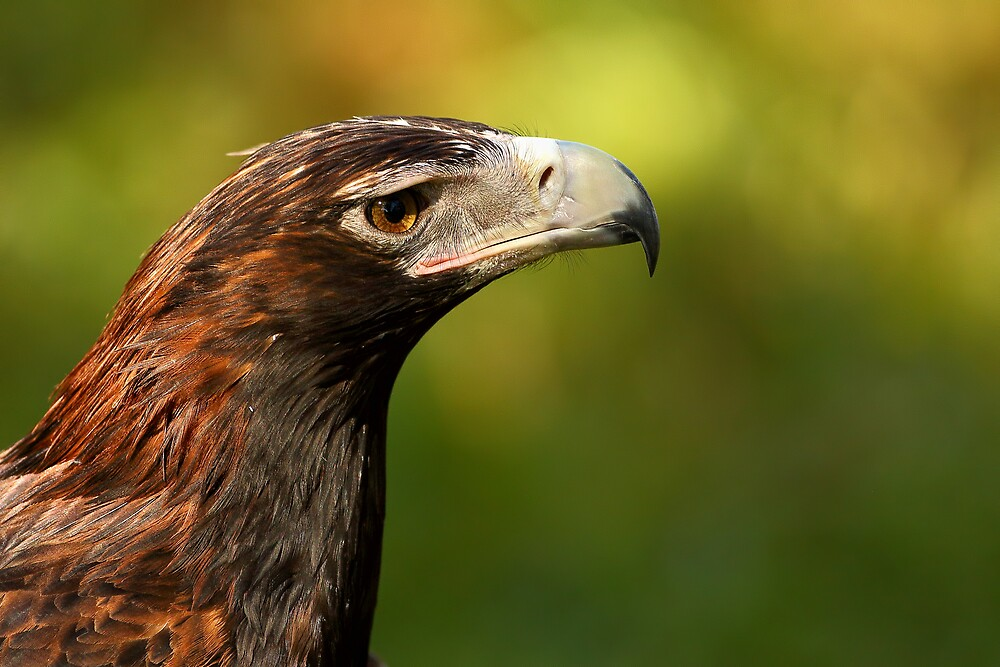 Wedge-Tailed Eagle by Mark Cooper