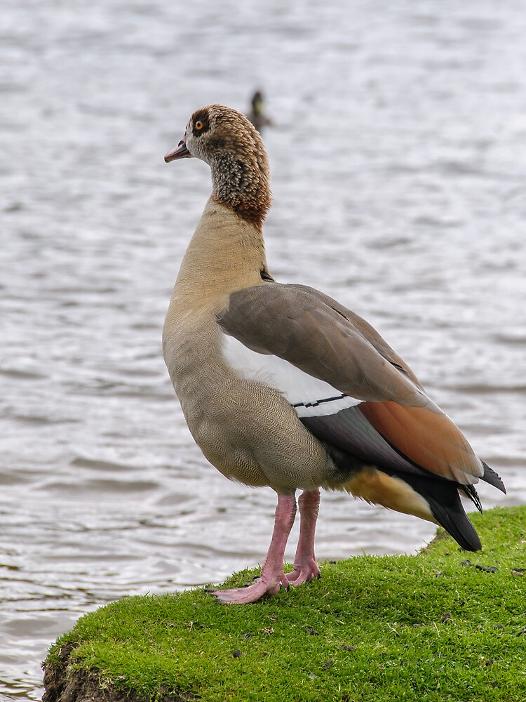 Egyptian Goose by mjamil81