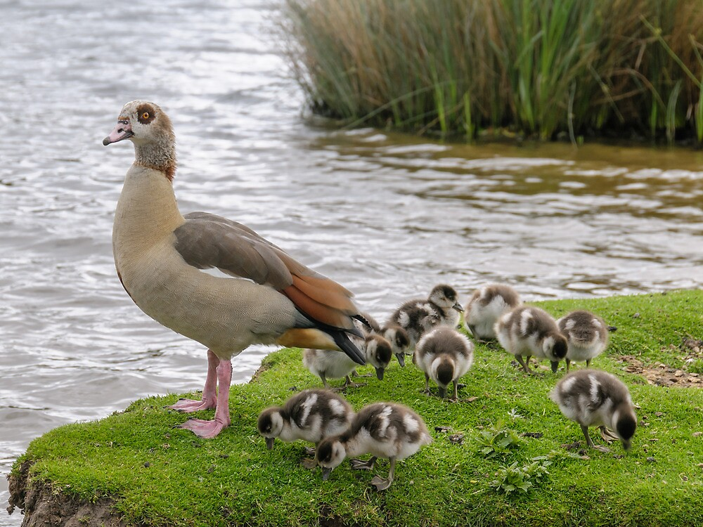 Egyptian goose with babies ready to swim by mjamil81