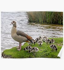 Egyptian goose with babies ready to swim Poster