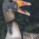 Grey duck closeup by mjamil81