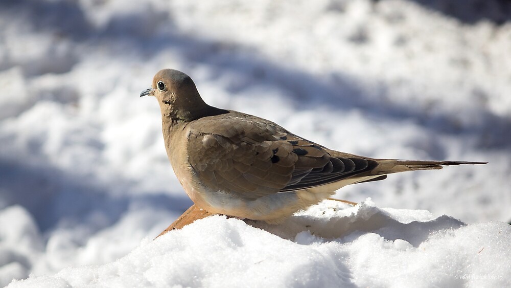 Mourning Dove in Winter by Mikell Herrick