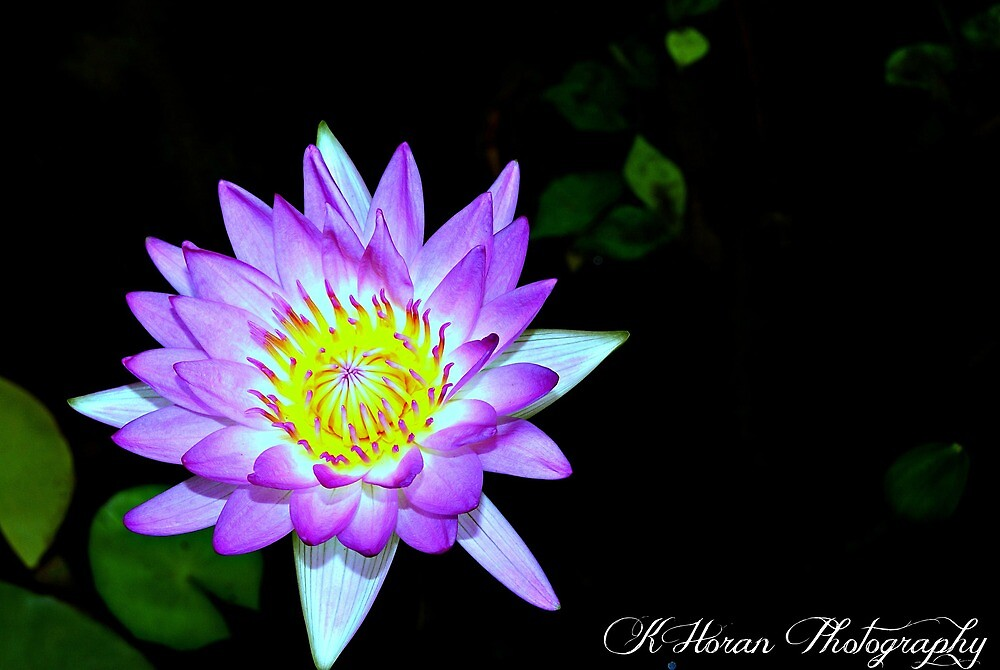 Water Lily by Kate0011