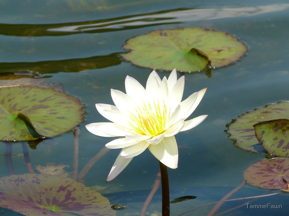 Water Lily by TammeFawn