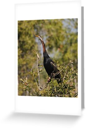 Darter - Wetlands of Fogg Dam Northern Territory Australia by Sean  Carroll