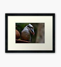 The Kookaburra Thief Framed Print