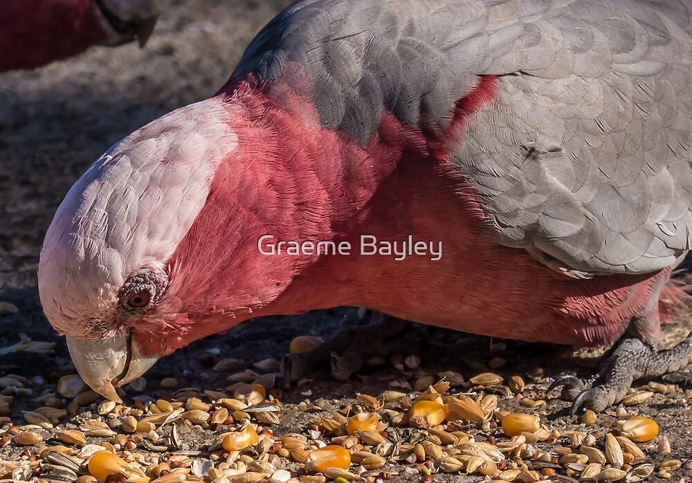 Australian Galah Close-Up by Graeme Bayley