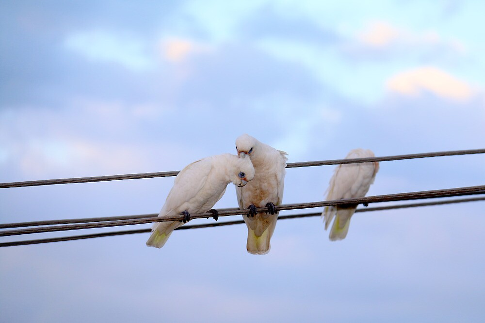 Cockatoos by Jill Patterson