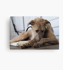 Grace - Stag Hound 1.5yrs Canvas Print