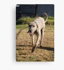 Grace - Stag Hound 1.5 yrs Canvas Print