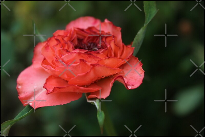 my perfect rose by Jeannine de Wet