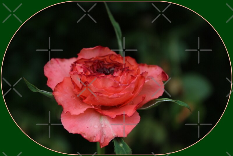 antique rose by Jeannine de Wet