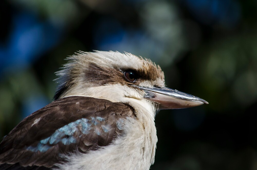 Kookaburra by beardedbandit