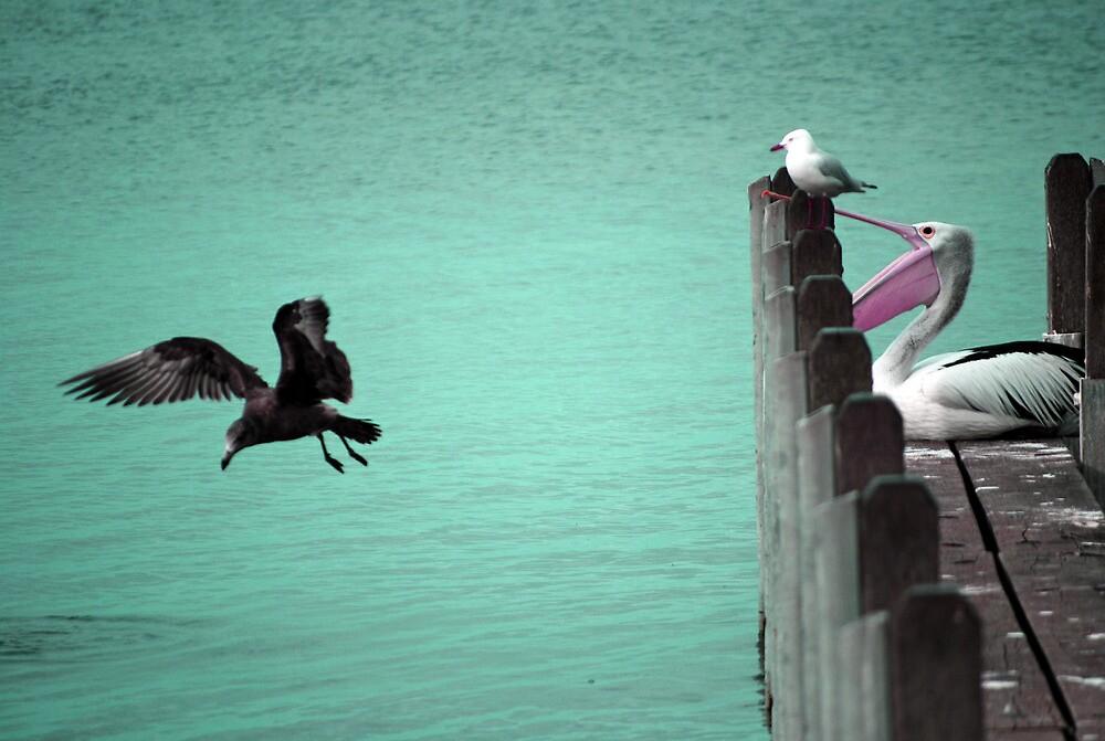 Pelican at Albany Yacht Club, Western Australia by JAAlderman