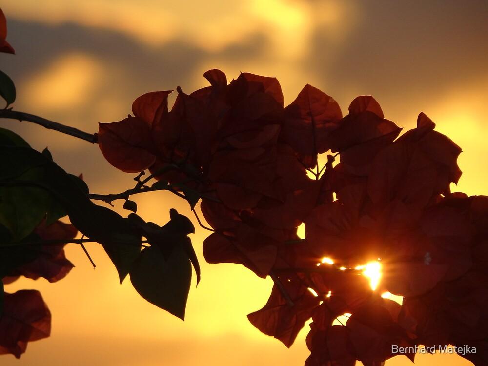 bougainvilleas in sunset I - bougainvilleas en puesta del sol  by Bernhard Matejka