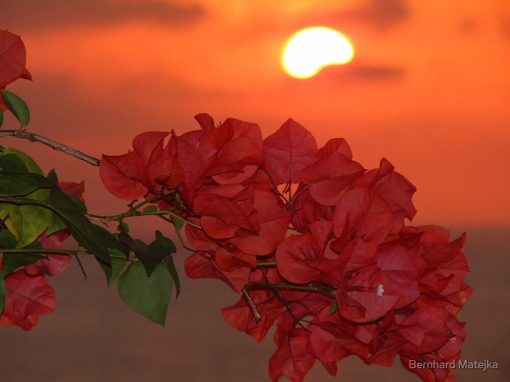 bougainvilleas in sunset II - bougainvilleas en puesta del sol  by Bernhard Matejka