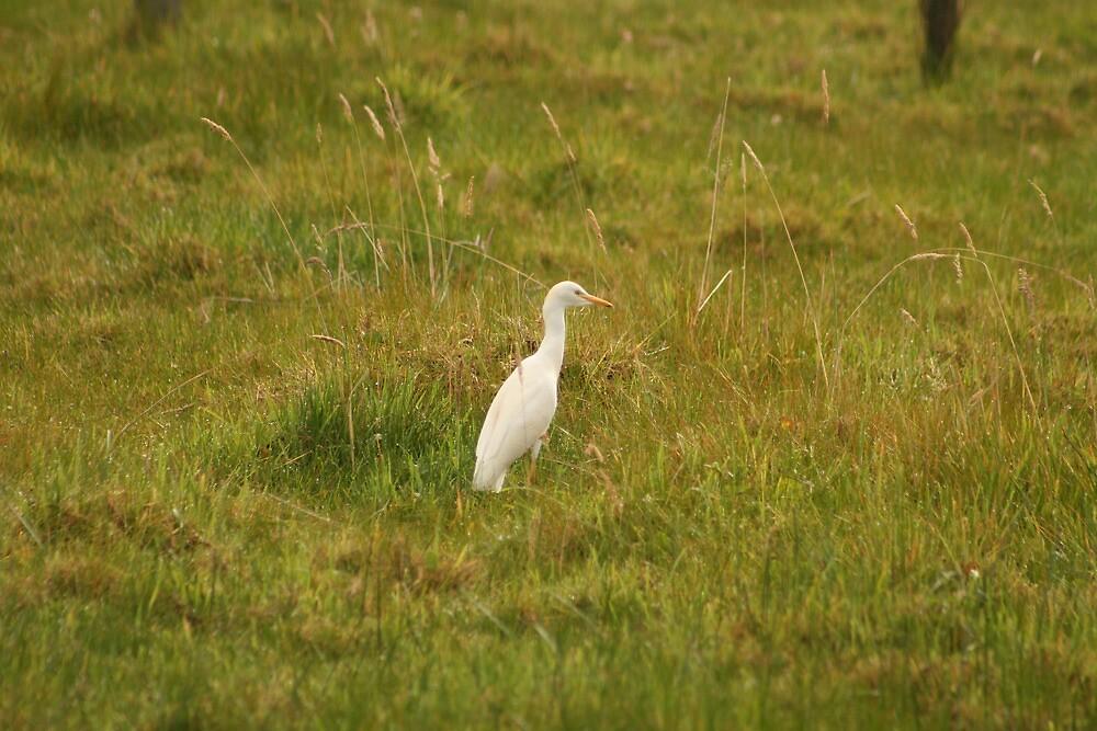 Cattle Egret by rhamm