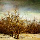 Winter in The Apple Orchard by JKKimball