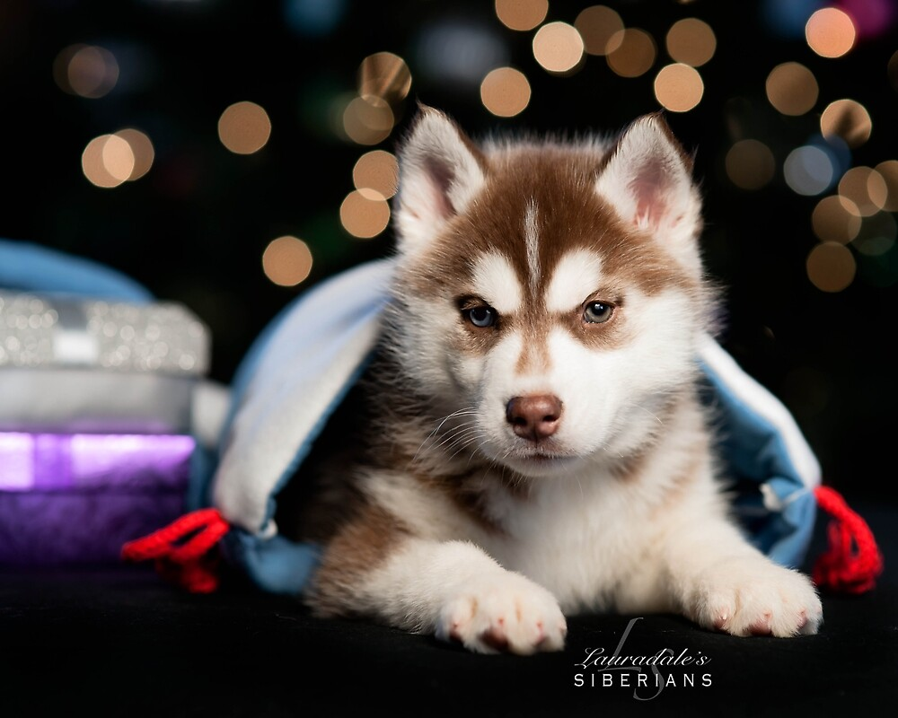 Siberian Husky Puppy At Christmas by lauradale