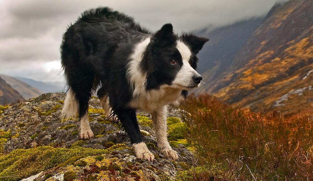 collie in the glen  by john sloan