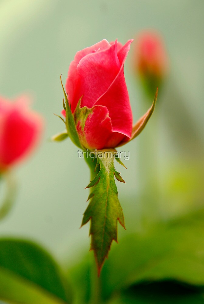 Rose bud by triciamary