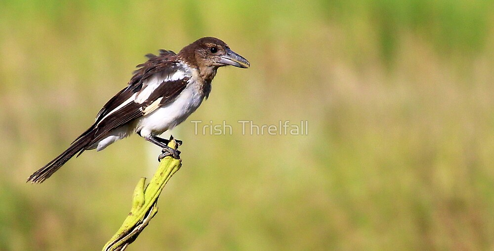 Baby Butcher Bird  by Trish Threlfall