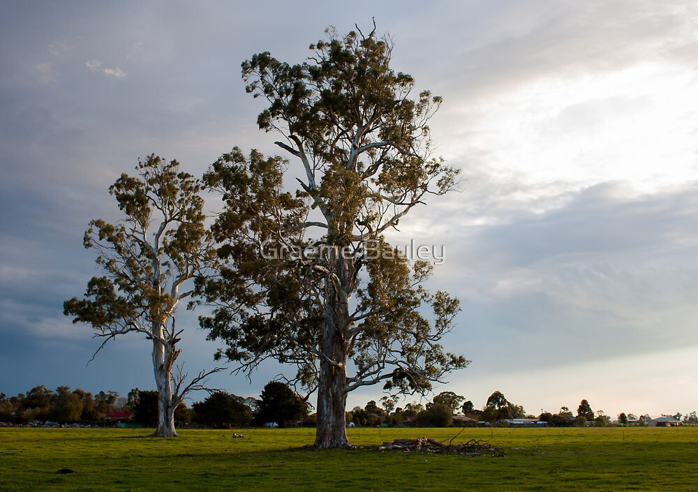 Magnificent Gum Trees. by Graeme Bayley