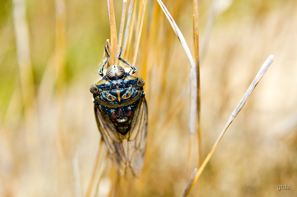 Cicada by gtda