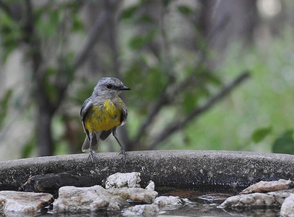 Eastern Yellow Robin by Meg Hart