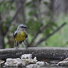 Eastern Yellow Robin by Meg Hart