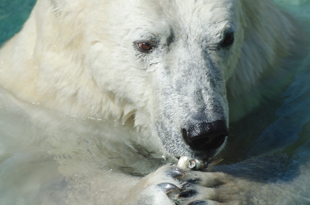 Polar Bear eating lunch by awcreations765