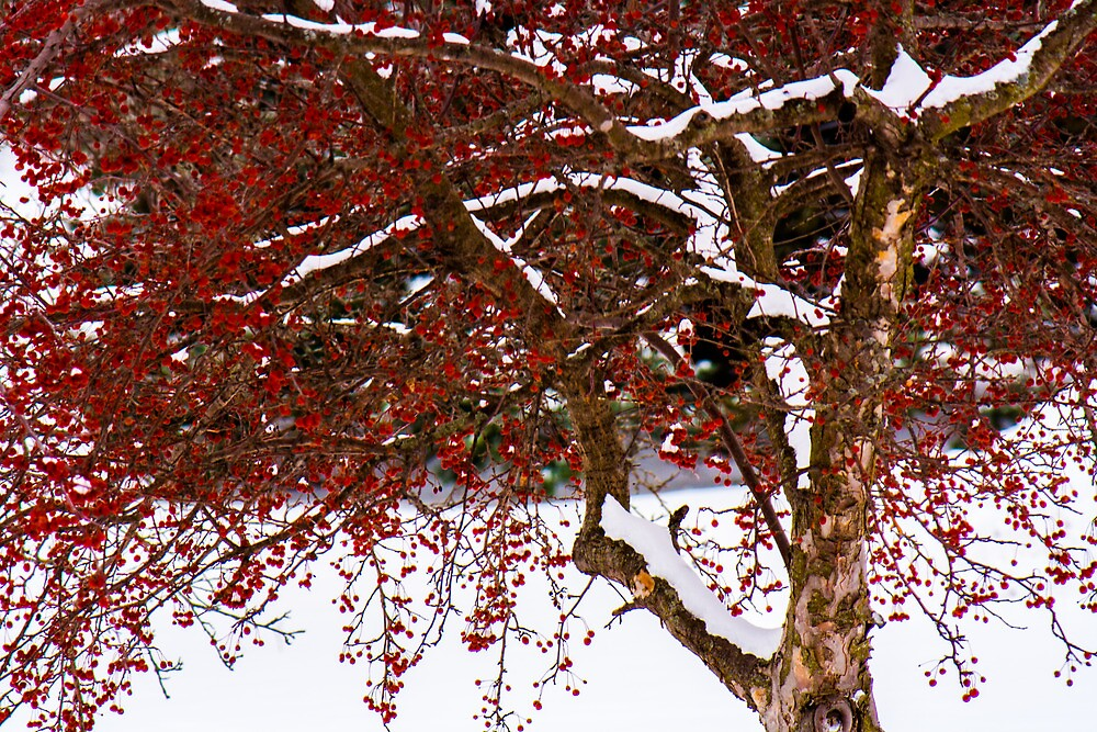 crabapple tree in the winter by Michelle Danker
