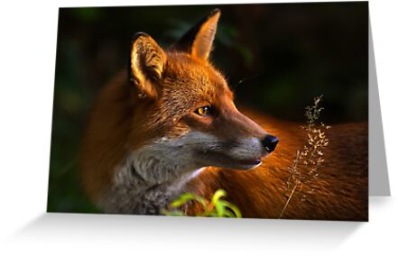Red Fox by Trevor Russell