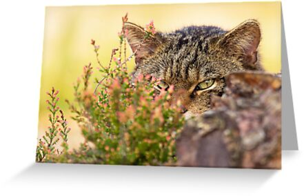Scottish Wildcat by Trevor Russell