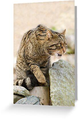 Scottish Wildcat by Trevor Russell