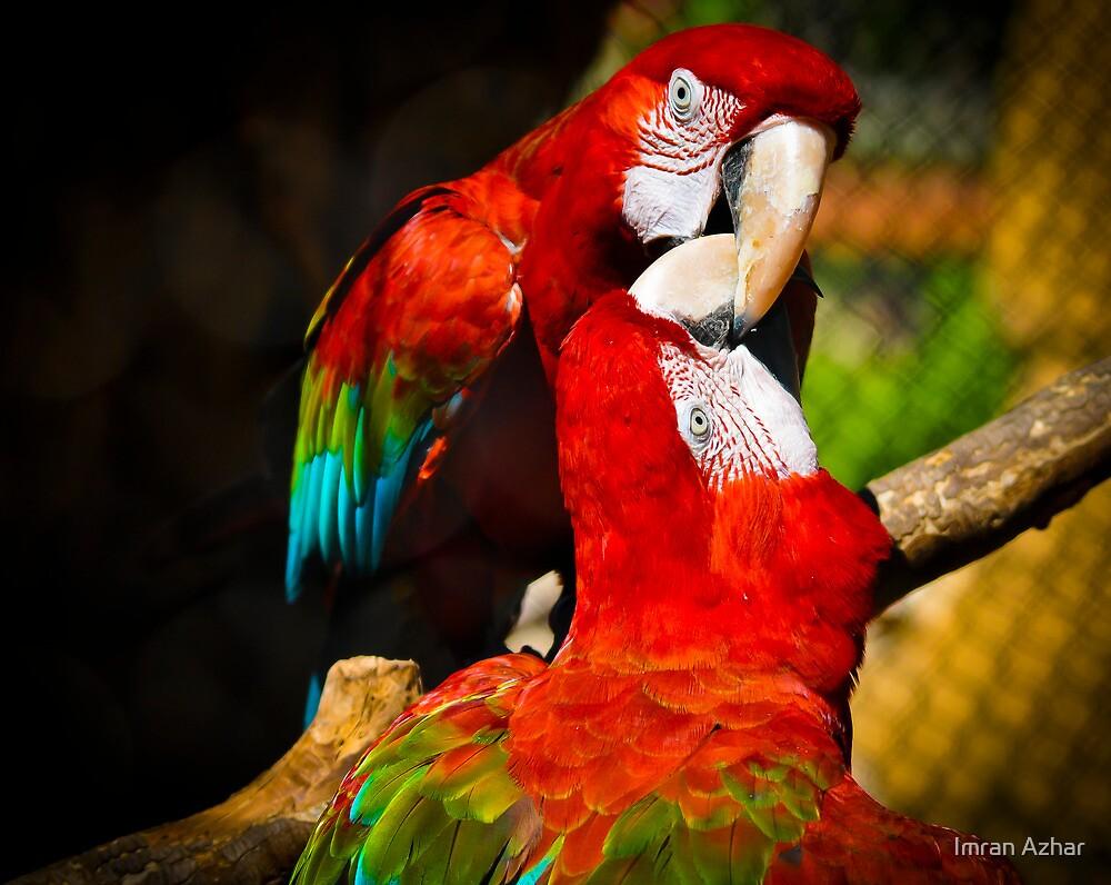 Macaw Love by Imran Azhar