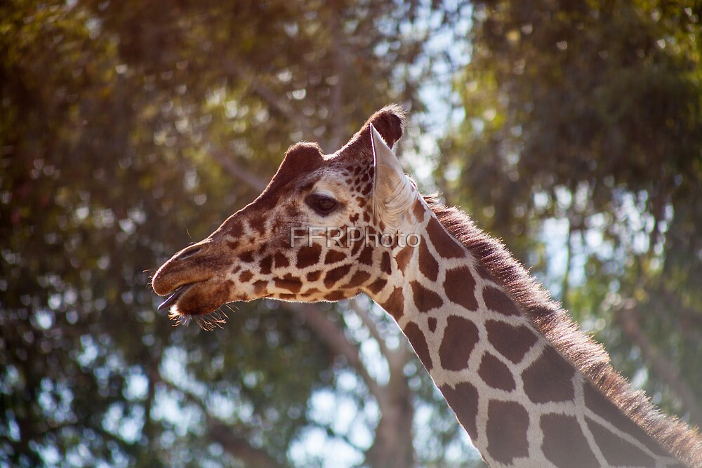 Giraffe at the Zoo by FFRPhoto