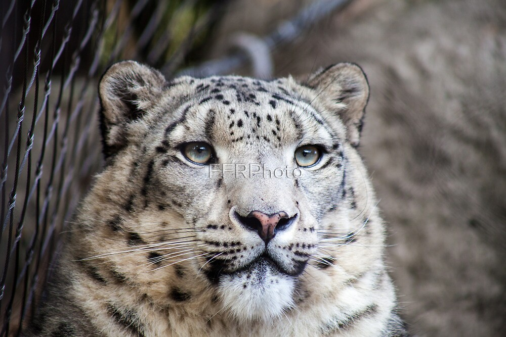 White Tiger by FFRPhoto