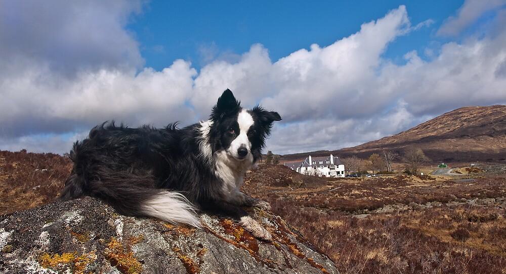 Skye the border collie by john sloan