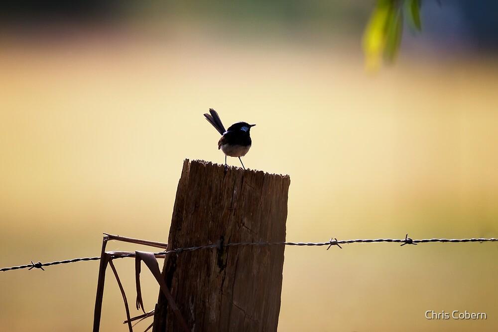 Superb Wren on Fence Post by Chris Cobern