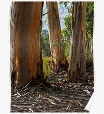 Stringy-Bark Gum Trees. Poster