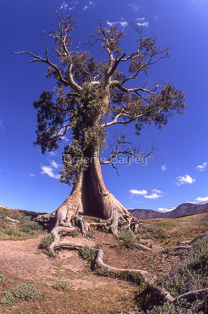 The Spirit of Endurance (Cazneaux Tree). by Graeme Bayley