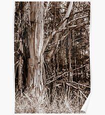 Australian Stringy Bark Tree. Poster