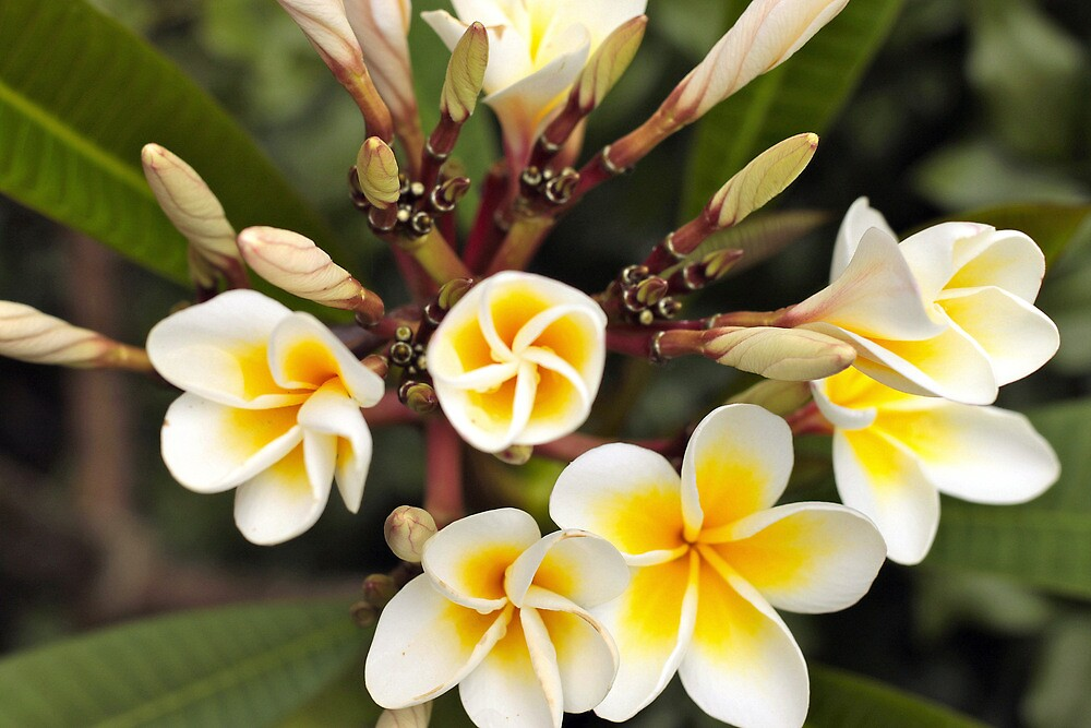 Queensland Frangipani by MagsArt