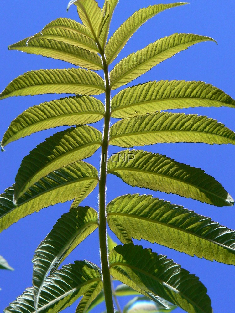 Indian Sumac by LCNP