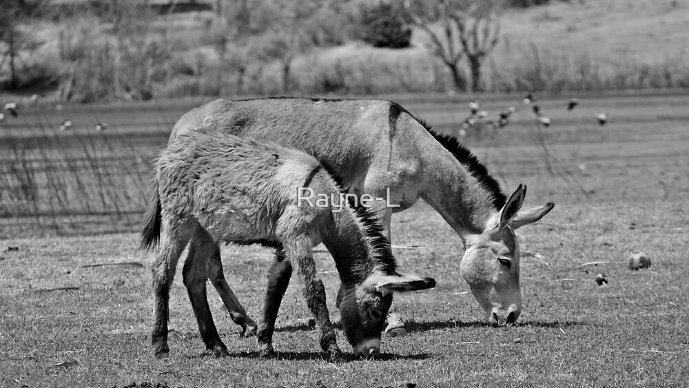 Donkeys of Maun by Rayne-L