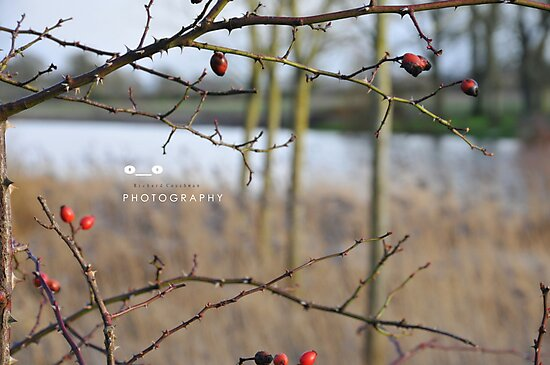 """"""" The Last Berries Of Winter """" by Richard Couchman"""