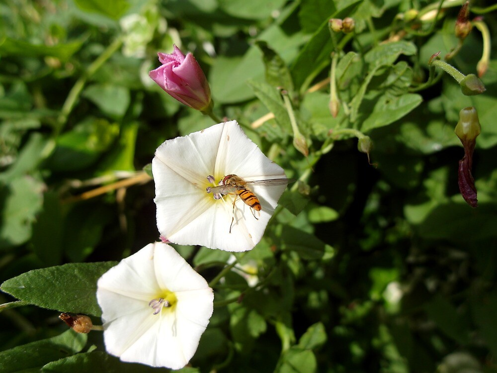 Hoverfly by Devon Lowe