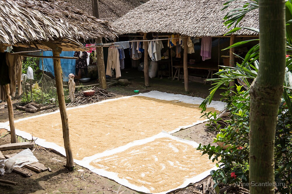 drying rice by Anne Scantlebury